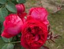 Ред Эден Розе