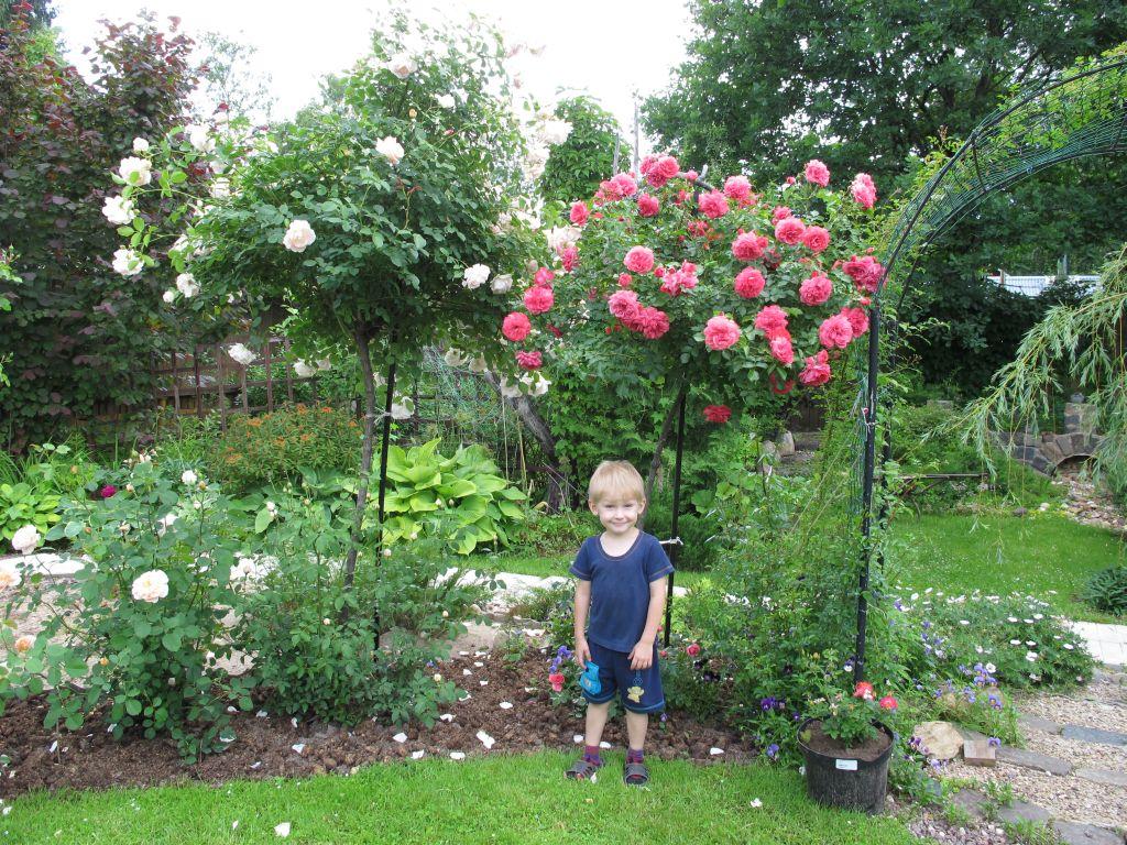 Выращивание роз на даче в подмосковье 99