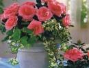 Красивые розовые розы