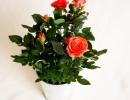 Очень красивые розы