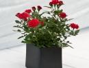 Красные розы в горшке
