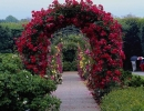 Арка, увитая плетистыми розами