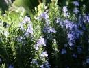 Розмарин обыкновенный Tuscan Blue