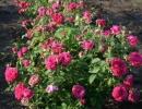 Розы сорта Вильям Шекспир