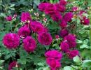 Фото. Розы сорта Вильям Шекспир