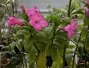 Руэллия крупноцветковая (Ruelliamacrantha)