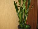 Цветок щучий хвост фото