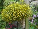 Цветущая в ампеле санвиталия