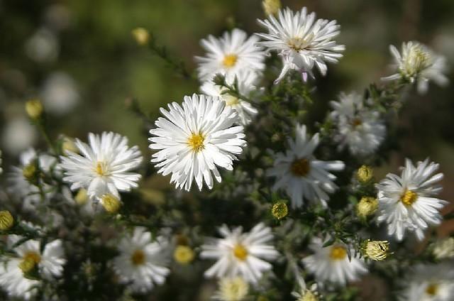 Сентябринки цветы размножение посадка