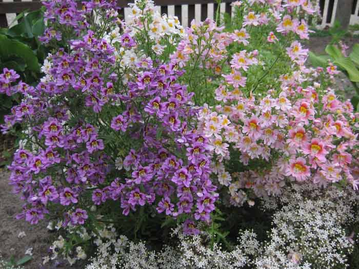 Схизантус уход выращивание