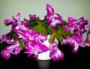 Шлюмбергера фиолетовый