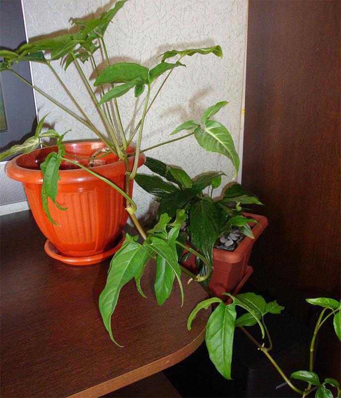 Комнатные растения: Фиалки 48