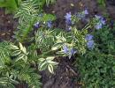 Синюха голубая Brise D Anjou
