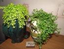 Фото растения. Солейролия