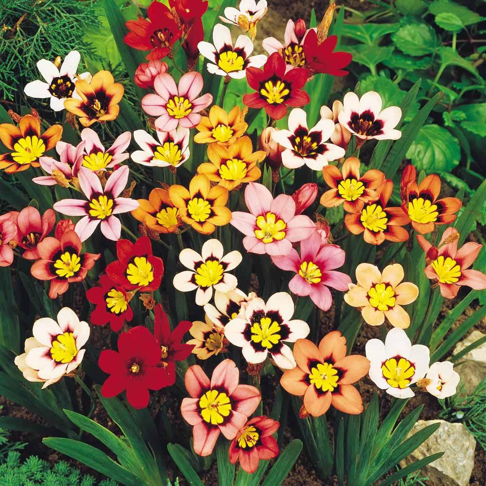 Цветок спараксис посадка и уход фото