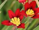 Цветочки спараксиса