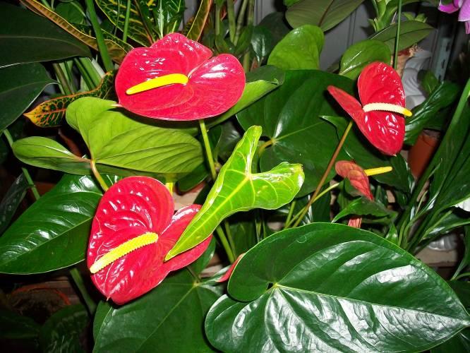 Спатифиллум цветок уход