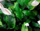Спатифиллум обильноцветущий