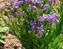 Кустик цветущей статицы