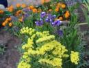 Голубая и желтая статица