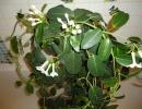 Cтефанотис цветет