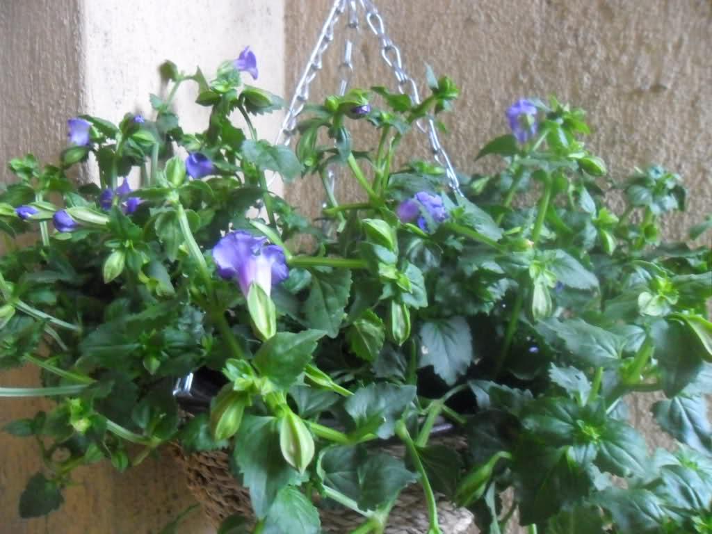 Торения цветы выращивание и уход 74