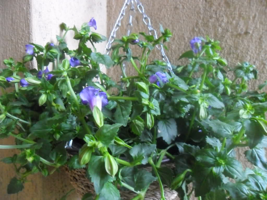 Торения фото цветов