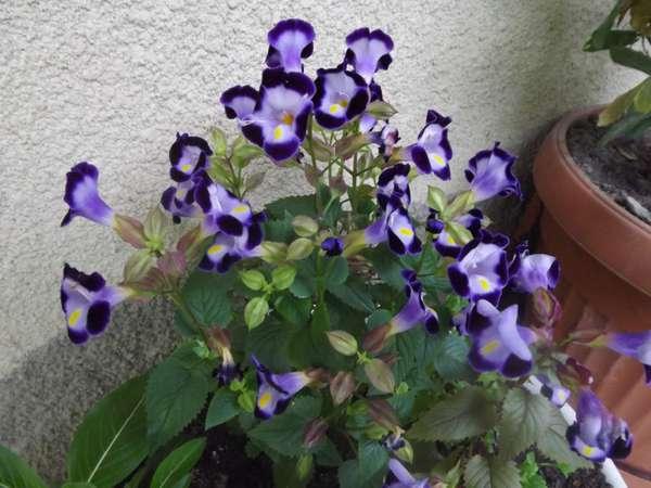 Торения цветы выращивание и уход 87