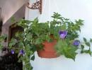 Фото. Цветок Торения