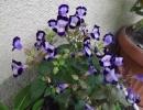 Цветок Торения