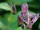 Цветок трициртиса