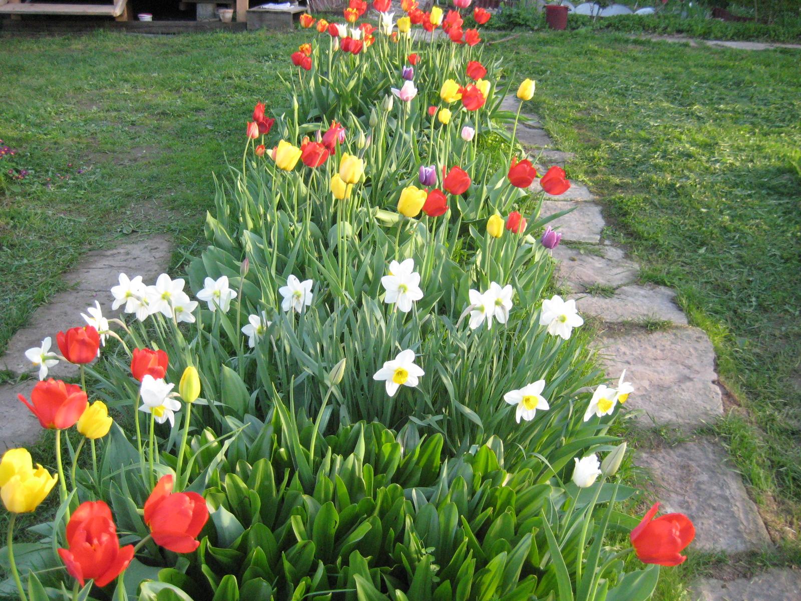 Посадка тюльпанов в казахстане осенью