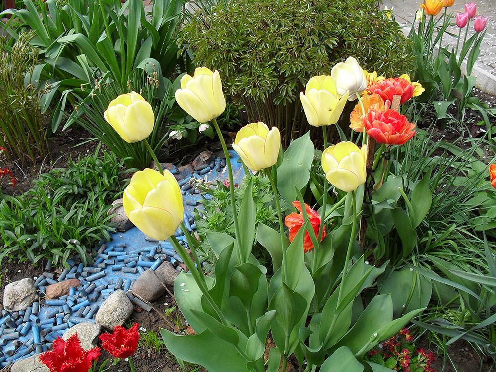 Цветы тюльпаны посадка и уход