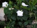 Тунбергия душистая (T. fragrans)