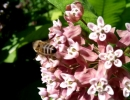 Пчела на цветке ваточника