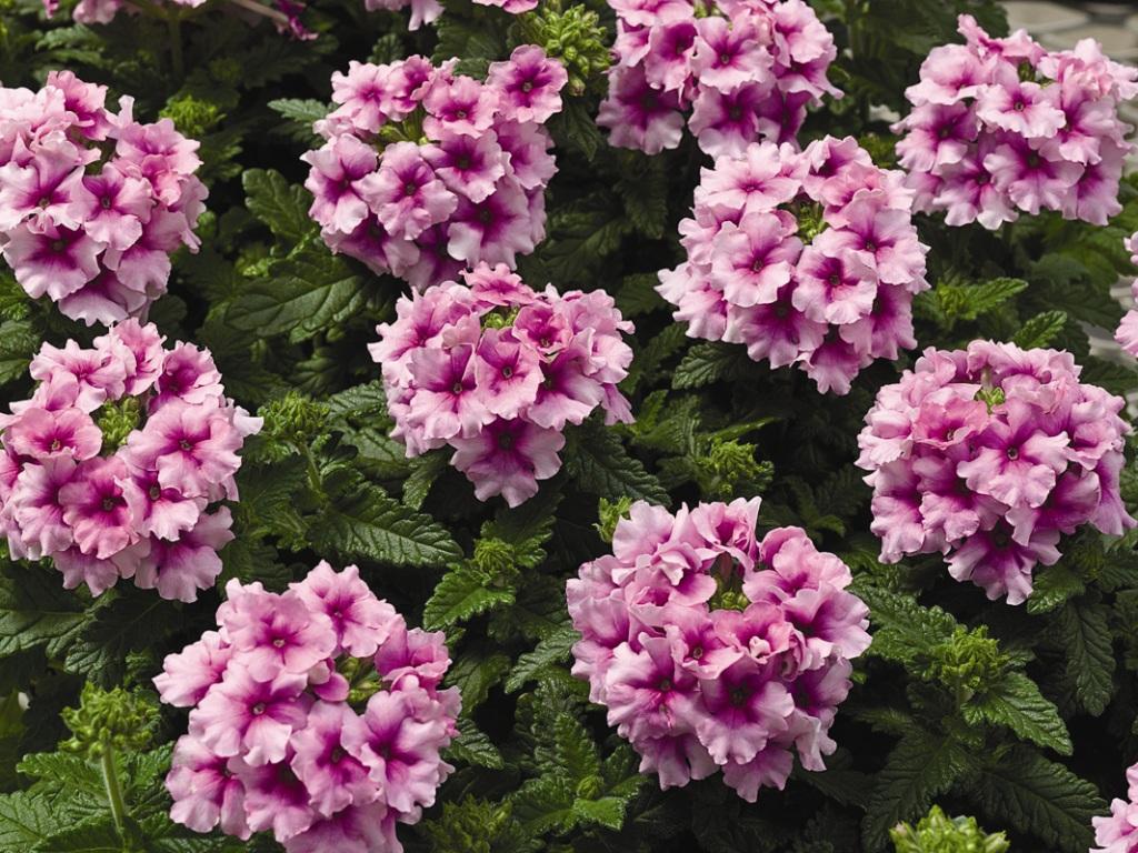 Цветок который цветет мелкими цветками