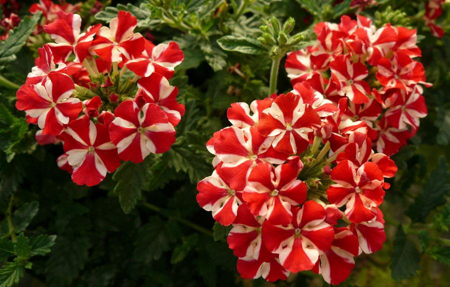 Вербения цветок