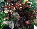 Вербейник пурпурный