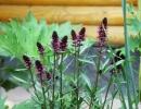 Вербейник черно-пурпурный