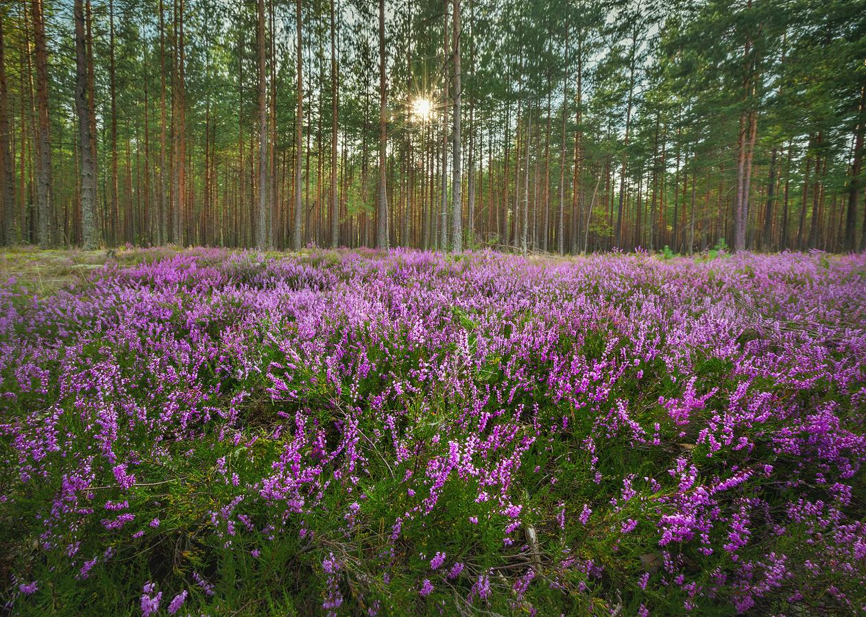 цветы фото монарда