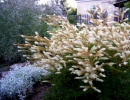 Волжанка в саду