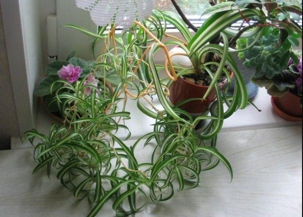 Хлорофитум полосатый уход в домашних условиях - Astro-athena.Ru