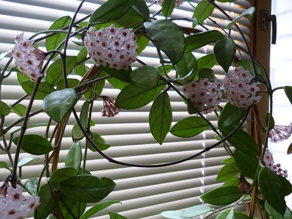 Хойя комнатный цветок фото