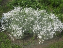 Цветы - Ясколка Биберштейна