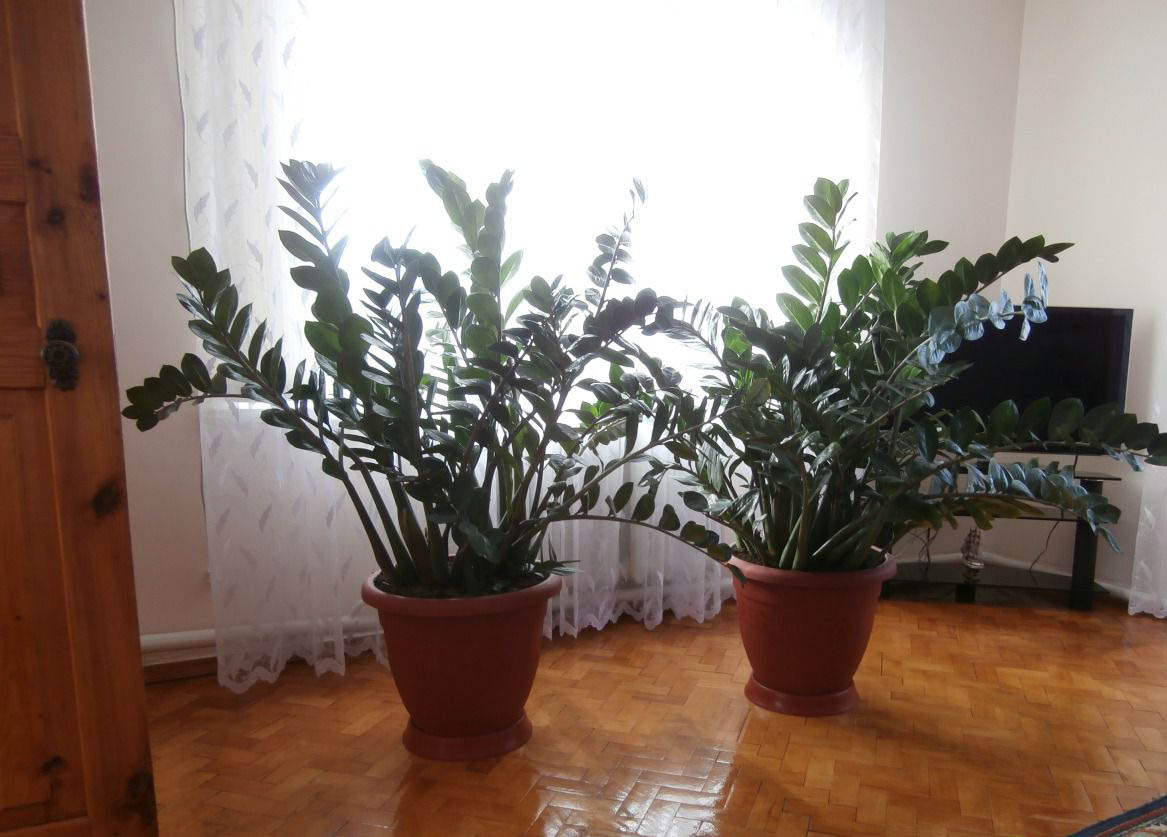 цветок замиокулькас уход в домашних условиях фото