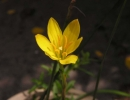 Зефирантес желтоцветковый вид