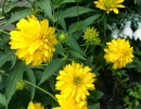 Цветы золотого шара