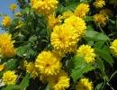 Цветущие золотые шары