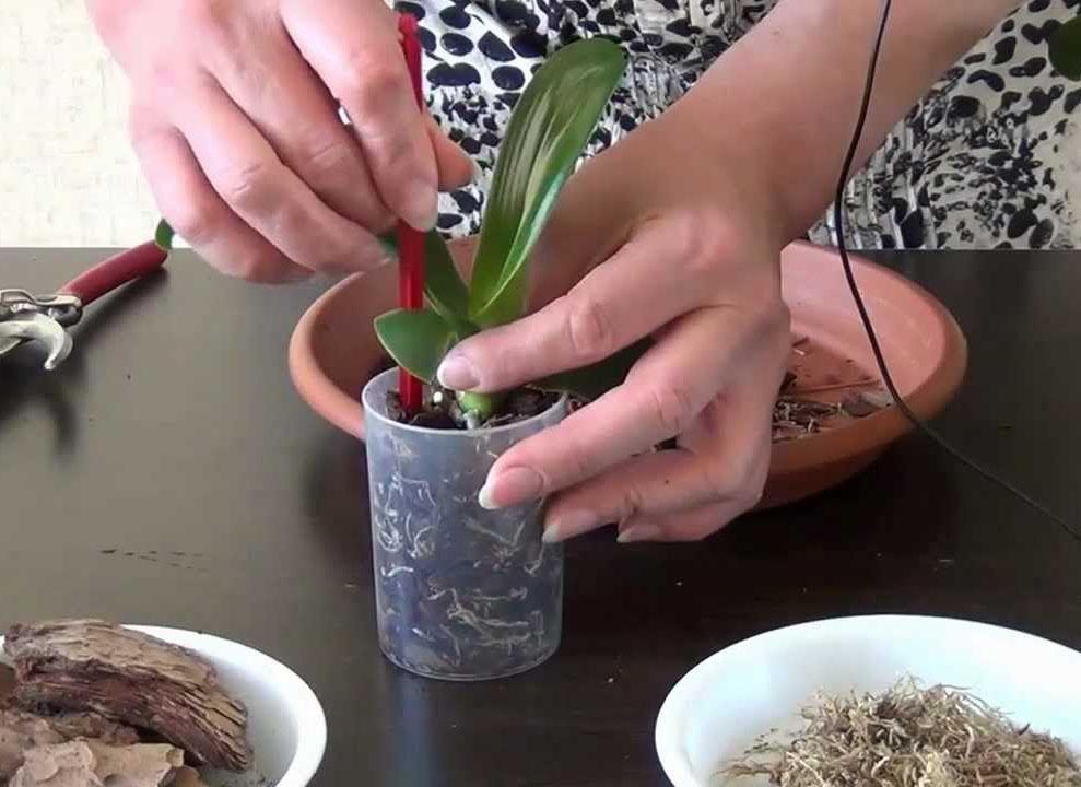 Разведение в домашних условиях орхидей