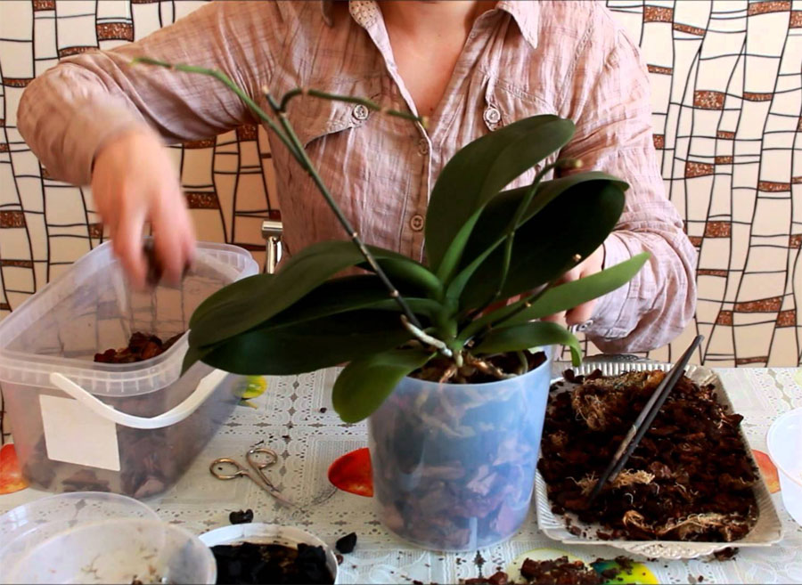 Как пересадить комнатную орхидею